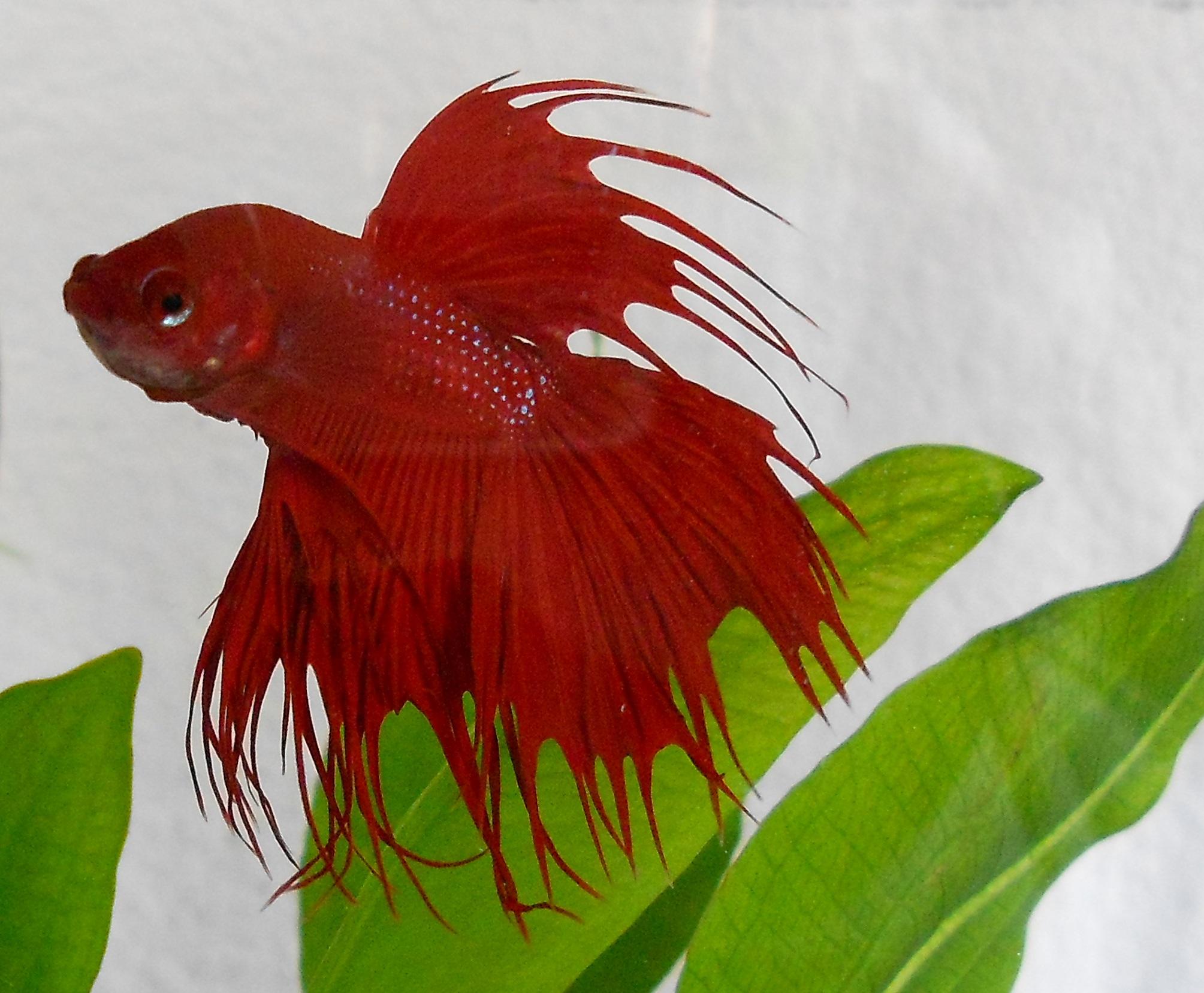 Renfish.jpg