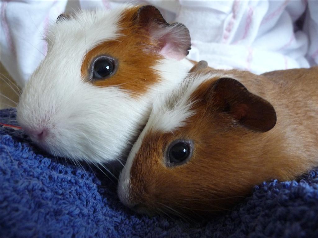 guinea-pigs.jpg