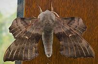Hawkmoth.jpg