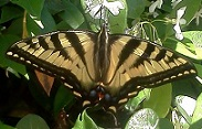 OregonSwallowtail.jpg