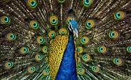 Peacockbird.jpg