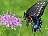 blackswallowtail.jpg