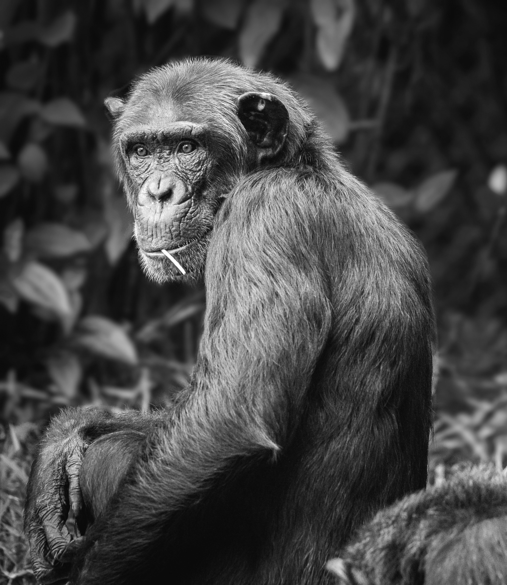 chimpboyo.jpg