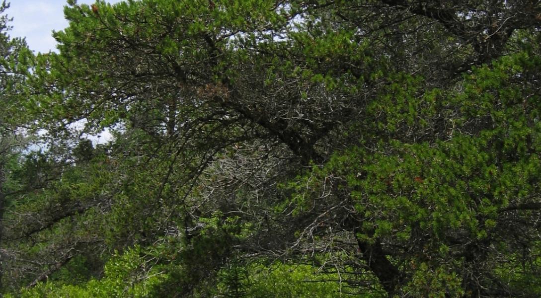 treeV.png