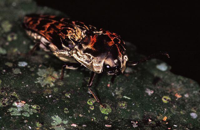 640px-Jewel_Beetle_(Buprestidae)_(7921854922).jpg