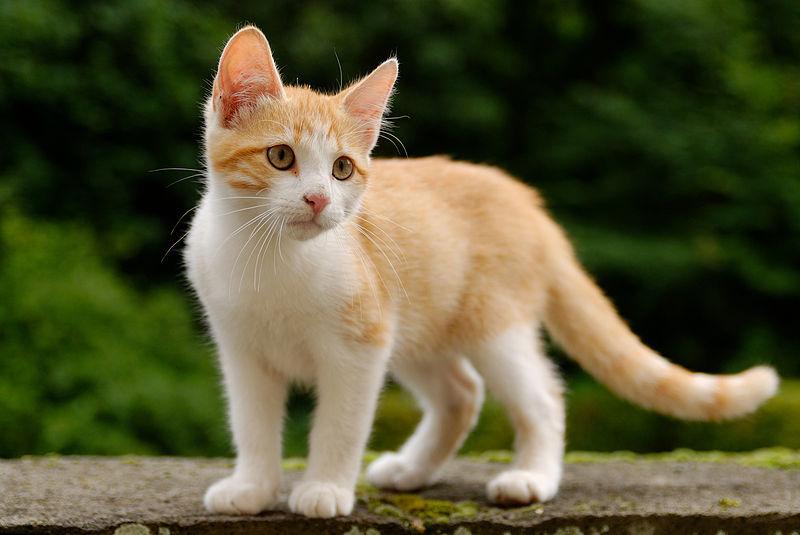 cat-breeds-jf09-315_xl-new.jpg