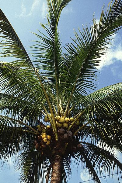 coconutpalmscp-new.jpg