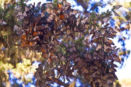 Monarch-butterflies1.jpeg
