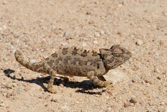 Laika_ac_Namaqua_Chameleon_(8446604360).jpg