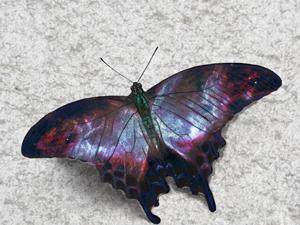 2332smallswallowtail.png