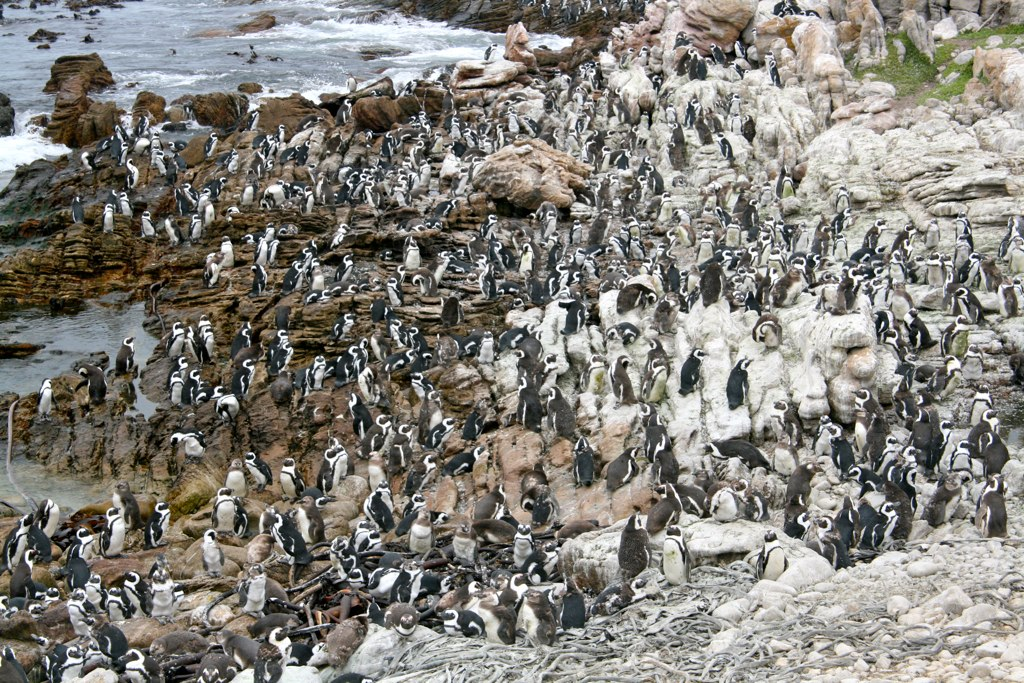 Jackass_Penguin_Colony.jpg