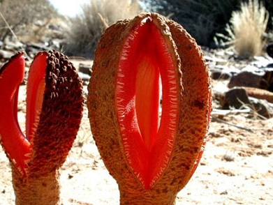 HydnoraAfricana.jpg