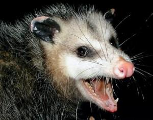 possum.jpg