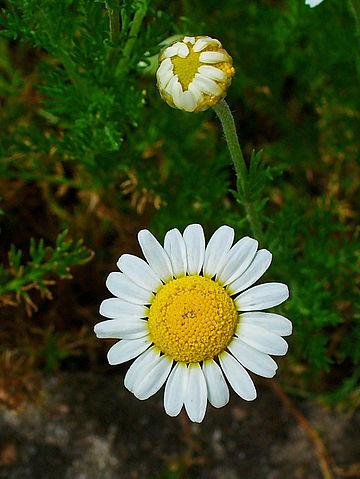 Chamaemelum_nobile_002_Wikimedia.jpg