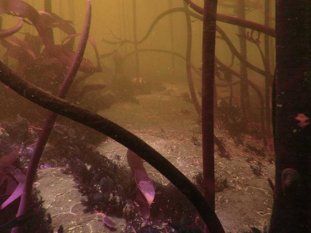 Kelp_forest_at_site_of_Umhlali_wreck_PA171925.jpg