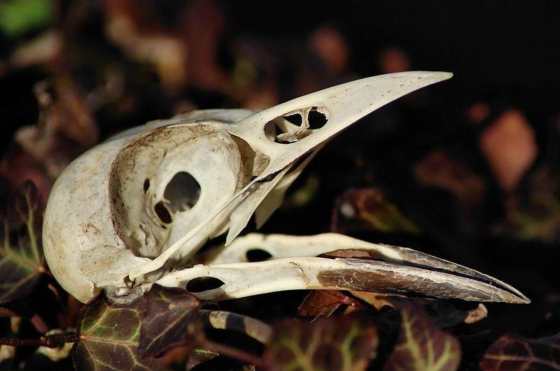 magpie_skull.jpg