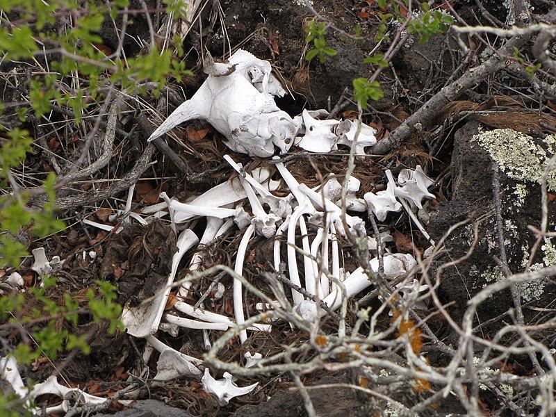 800px-Starr-100901-8979-Wikstroemia_monticola-habitat_and_goat_skeleton-Kanaio_Natural_Area_Reserve-Maui_(24755353650).jpg