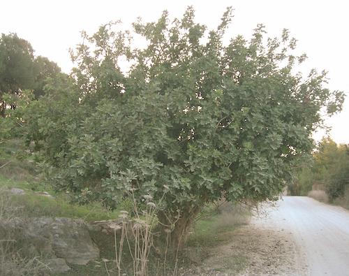 carob_tree.jpg
