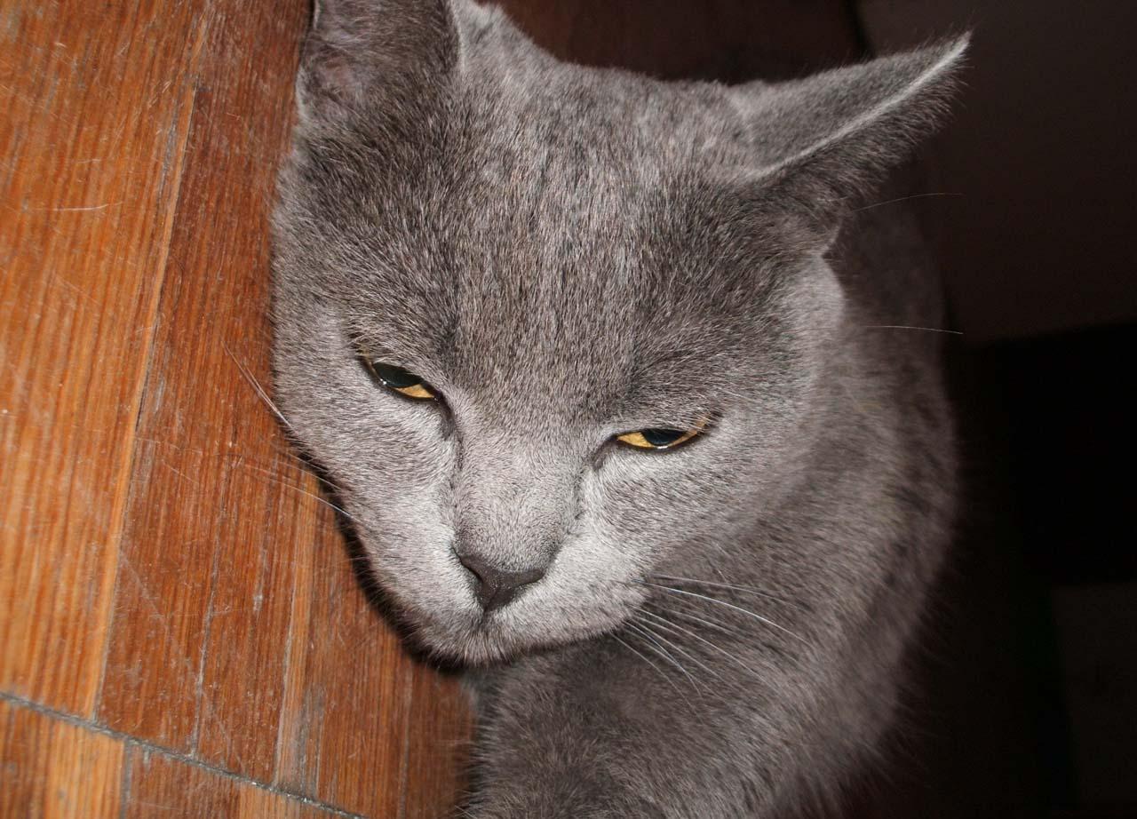 http://scp-wiki.wdfiles.com/local--files/scp-607/grey_cat_floor.jpg