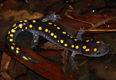 spottedsalamanderPeterPaplanus.jpg