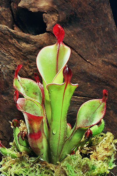 pitcherplant.jpg