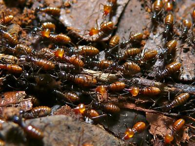 termite-new.jpg