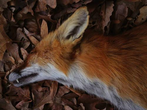 FoxDeath
