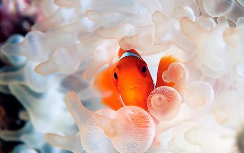 Clownfish-coral-reef-fish-Desktop-Wallpaper.jpg