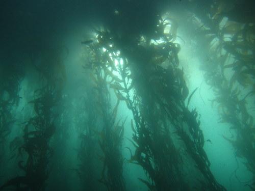 Kelp1